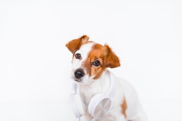 Lindo perro jack russell escuchando música en auriculares en casa