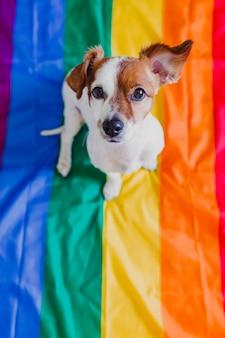 Lindo perro jack russell sentado en la bandera lgbt del arco iris en el dormitorio. celebrar el mes del orgullo y el concepto de paz mundial