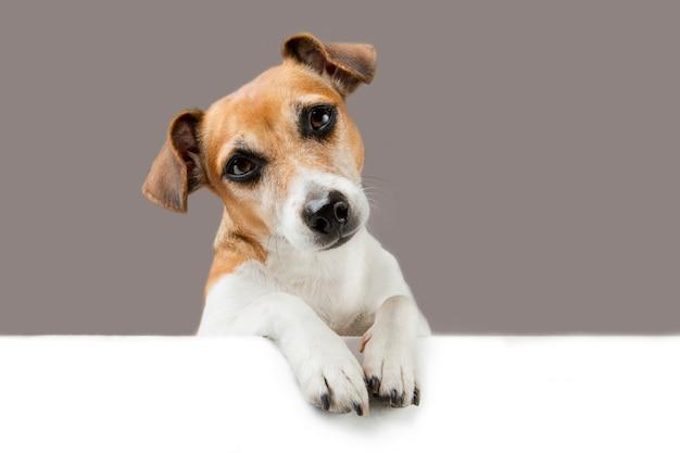 Lindo perro mira hacia abajo sobre la pancarta. espacio vacío para su texto