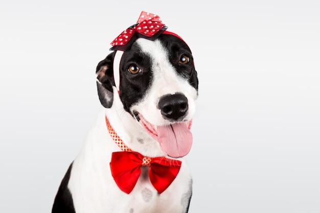 Lindo perro mixto con una cinta y una corbata de lazo aislado en fondo blanco.