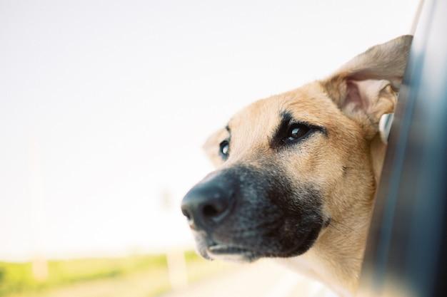 Lindo perro de montaña de formosa marrón mirando por la ventana de un coche durante el día