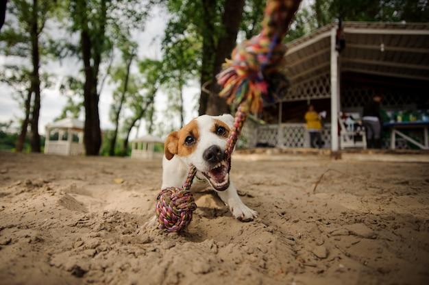 Lindo perro mordiendo la cuerda en la playa