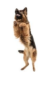 Lindo perro pastor posando aislado sobre pared blanca