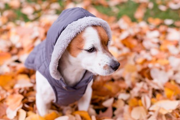 Lindo perro pequeño con abrigo gris sentado en las hojas amarillas. otoño