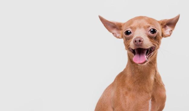 Lindo perro pequeño con espacio de copia