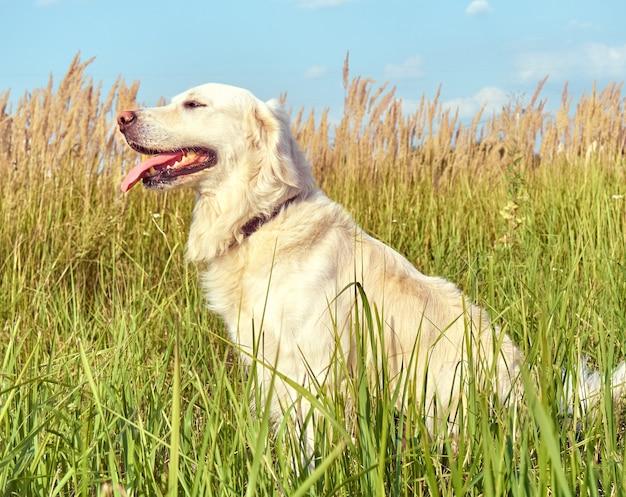 Lindo perro perdiguero en el fondo de la naturaleza.