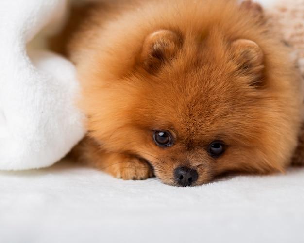 Lindo perro pomerania mejores amigos