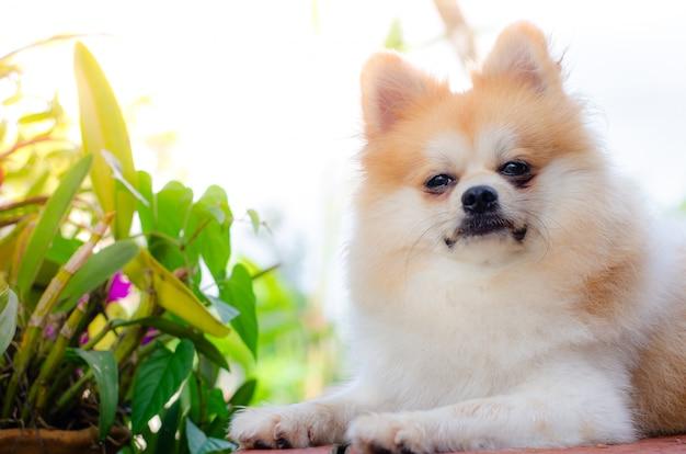 Lindo perro pomerania relajarse en la hierba verde