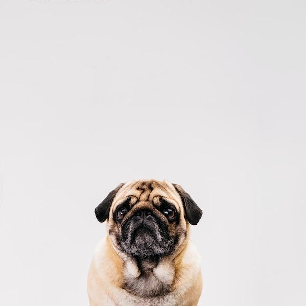 Lindo perro posando delante de cámara