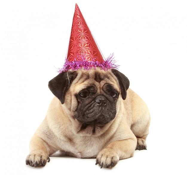 Lindo perro pug con sombrero aislado