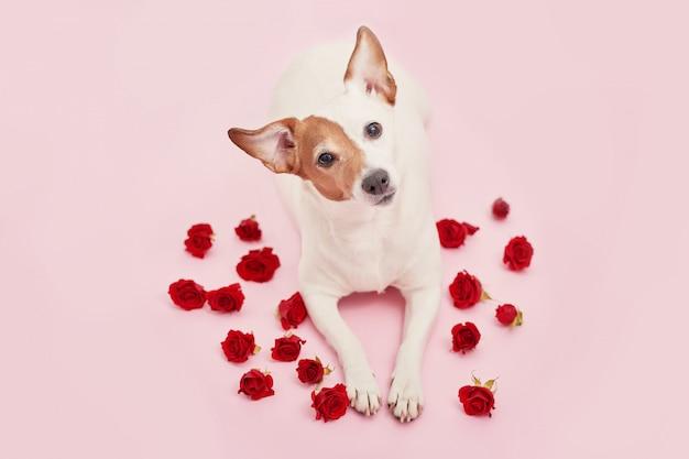 Lindo perro con rosas rojas para el día de san valentín