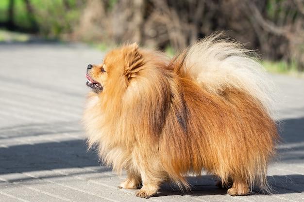Lindo perro spitz en la naturaleza