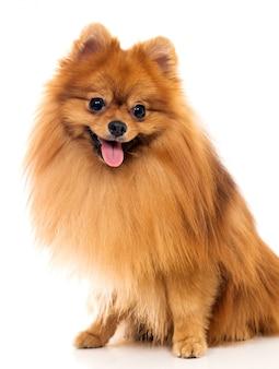 Lindo perro spitz