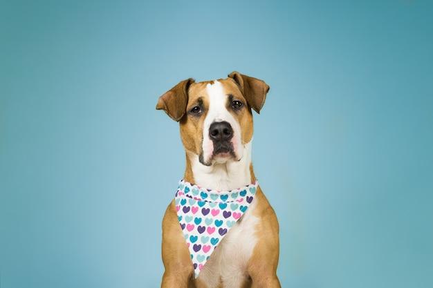 Lindo perro staffordshire terrier en bandana con corazones