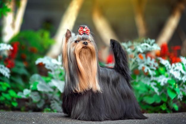 Lindo perro yorkshire terrier jugando en el patio