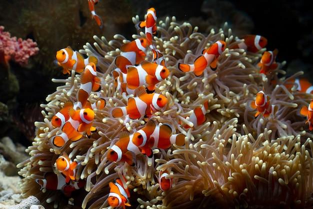 Lindo pez de anémona jugando en el arrecife de coral