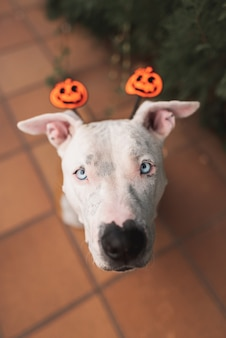 Lindo pit bull american stafford con un sombrero de halloween