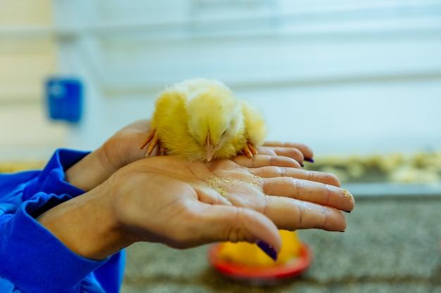 Lindo pollito amarillo sentado en las manos de la mujer y comiendo en una granja avícola