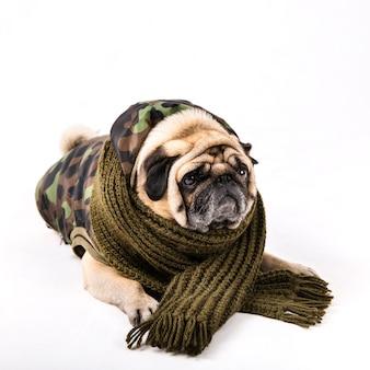 Lindo pug en ropa militar y bufanda