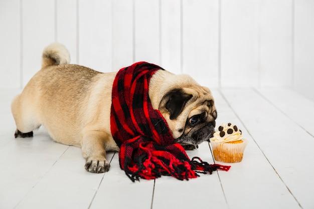 Lindo pug vistiendo bufanda a cuadros oliendo cupcake