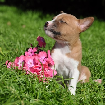 Lindo rojo basenji perro cachorro y flor