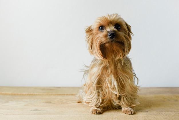 Lindo sentado yorkshire terrier en una sala de estar