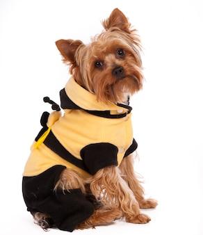 Lindo yorkshire terrier en suéter, estudio tiro sobre blanco