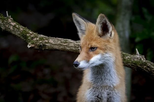 Lindo zorro con una expresión facial astuta cerca de la rama de un árbol en el bosque