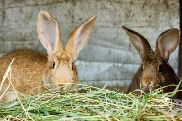 Lindos conejos están sentados en la granja comiendo heno