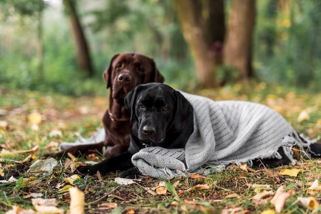 Lindos dos perros tirados en el pasto con bufanda en el parque