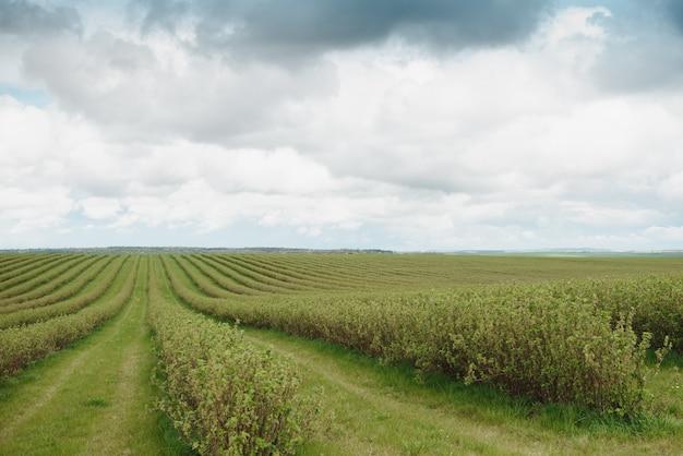 Líneas de nivel de plantación de grosellas, productos de frutas naturales.