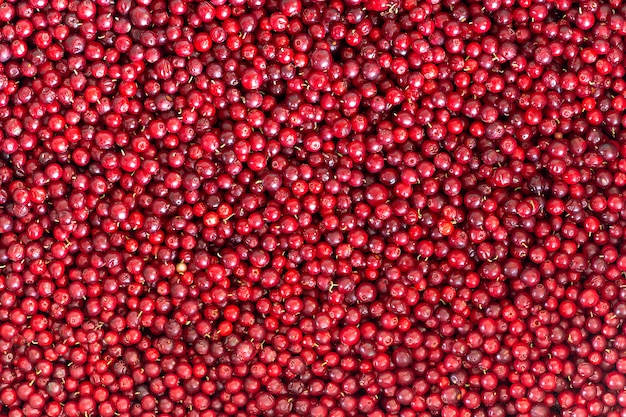Lingonberries naturales rojos maduros, fondo y textura