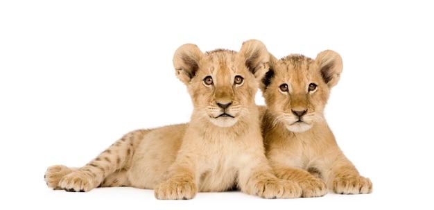 Lion cub en un blanco aislado