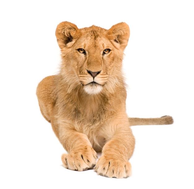 Lion cub en frente sobre un blanco aislado