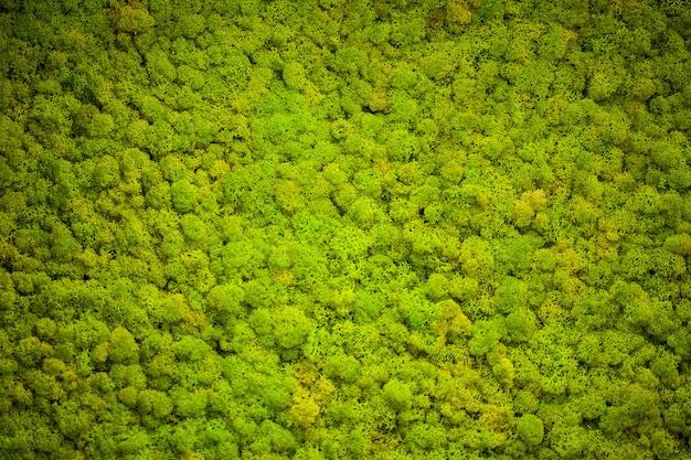 Liquen verde, fondo de pared de musgo