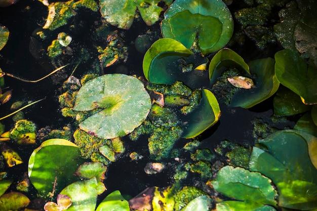 Lirio de agua deja en el estanque