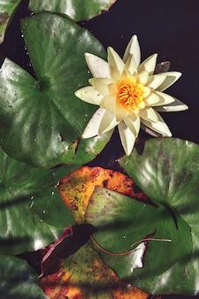 Lirio de agua de flor blanca entre hojas en un estanque japonés