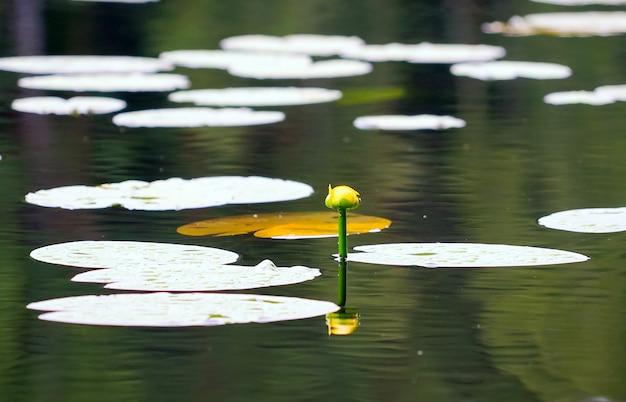 Lirio amarillo de agua sin abrir en la superficie del agua.