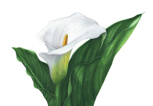 Lirio de cala blanco acuarela con hojas verdes sobre fondo blanco.