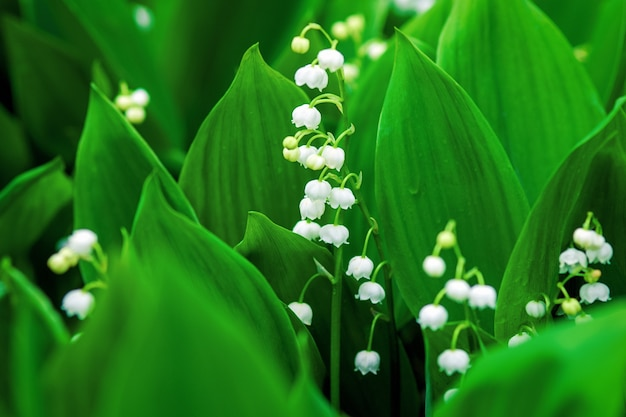 Lirio de los valles o lirio de mayo que florece en el bosque