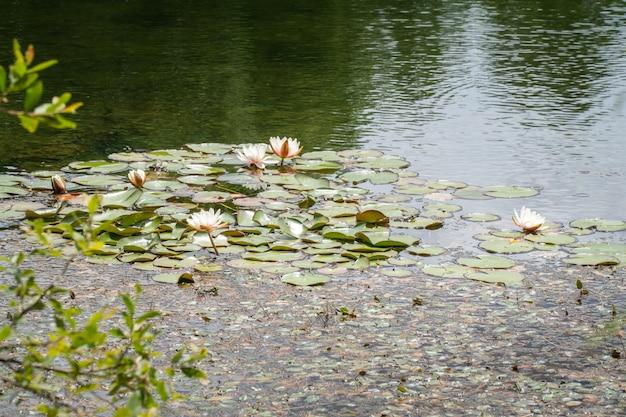 Lirios de agua en el estanque del parque