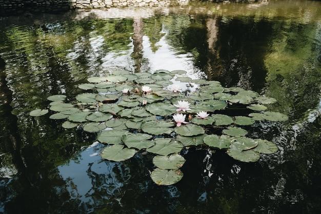 Lirios de agua en el lago en el patio del castillo de drácula, transilvania