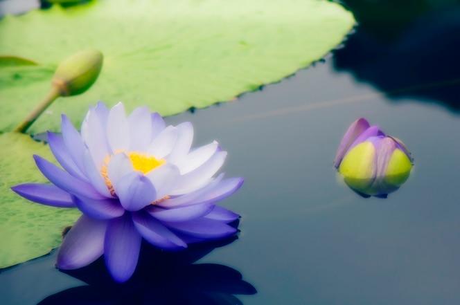Lirios de agua en estanque, vista elevada