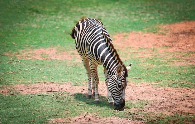 Las llanuras africanas de la cebra pastan la hierba en el parque nacional