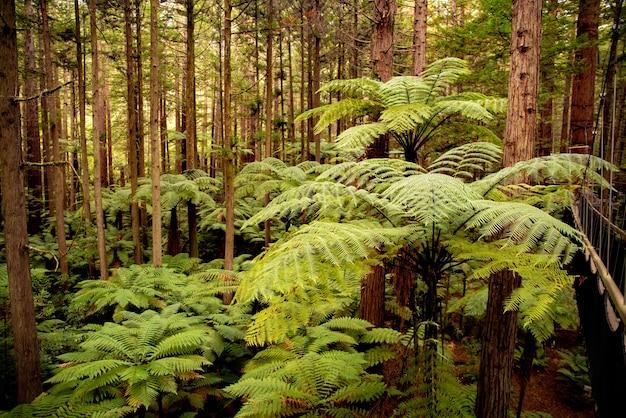 En lo profundo del exuberante bosque de secuoyas caminando por el árbol suspendido camina sobre los altos helechos nativos de punga