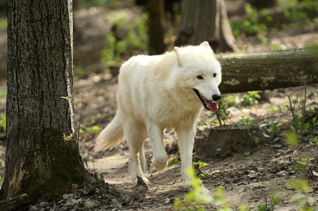 Lobo blanco salvaje en el bosque