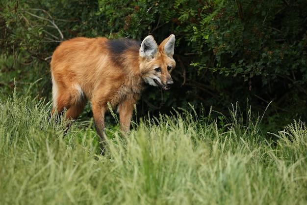Lobo de crin sudamericano en el hábitat natural