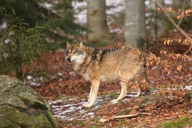 Lobo euroasiático en hábitat de invierno blanco hermoso bosque de invierno