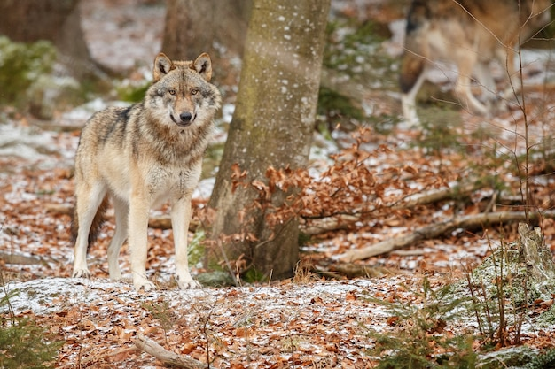 Lobo euroasiático está de pie en el hábitat natural en el bosque bávaro