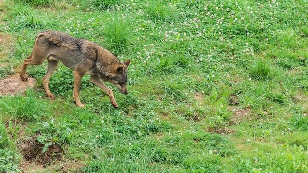 Lobo ibérico camina sobre la hierba
